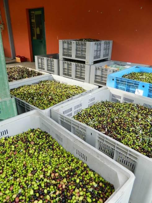Le olive appena raccolte arrivano subito al frantoio