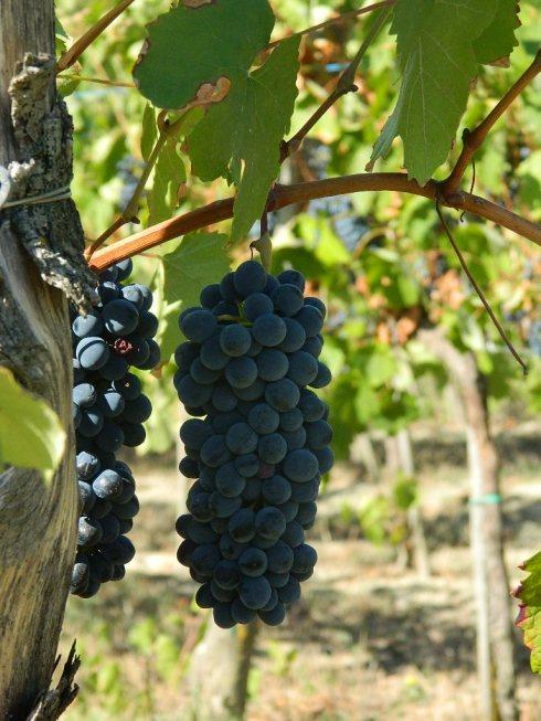 Barbera, Croatina (Bonarda), Cabernet Sauvignon e Merlot sono le uve rosse che produce Santa Giustina