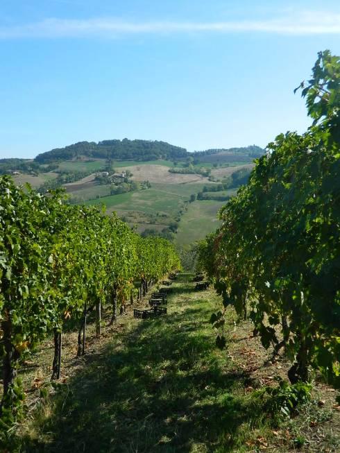 Una delle vigne dell'Azienda Agricola Santa Giustina
